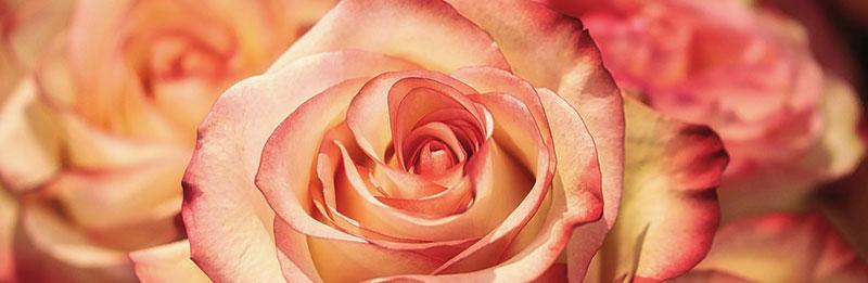 Heute ist der Tag der Rose - Gärtnerei Lammers